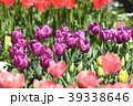 チューリップ 花 花畑の写真 39338646