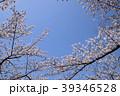 ソメイヨシノ 満開 青空の写真 39346528