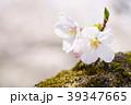 桜の花 39347665