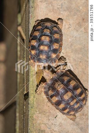 image of Sulcata Tortoise on ground. 39351766