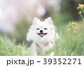チワワ ロングコートチワワ 犬の写真 39352271