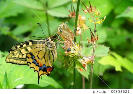 羽化 キアゲハ キアゲハが蛹になっている期間|パセリの葉からどこに行く?