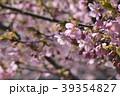 河津桜 桜 春の写真 39354827