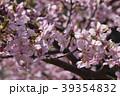 河津桜 桜 春の写真 39354832