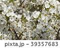 オオシマザクラ 桜 若葉の写真 39357683