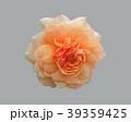 オレンジ オレンジ色 橙の写真 39359425