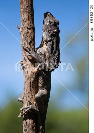 木に登るエリマキトカゲ 39362426