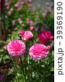 ラナンキュラス ハナキンポウゲ 花の写真 39369190