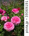 ラナンキュラス ハナキンポウゲ 花の写真 39369191