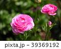 ラナンキュラス ハナキンポウゲ 花の写真 39369192