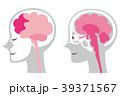 脳 脳みそ 断面図のイラスト 39371567