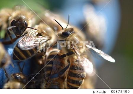 ミツバチ 女王蜂