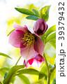 クリスマスローズ 花 キンポウゲ科の写真 39379432