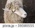 羊 牧場 動物の写真 39380555