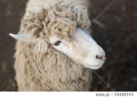 羊 39380555