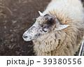 羊 牧場 動物の写真 39380556