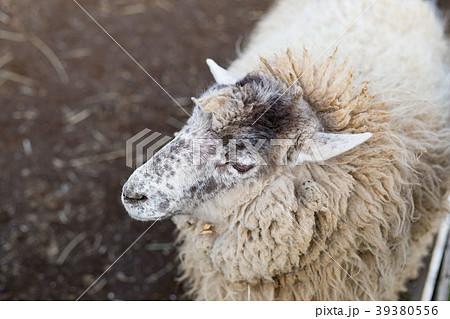 羊 39380556