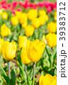 チューリップ チューリップ畑 花畑の写真 39383712