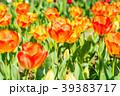 チューリップ チューリップ畑 花畑の写真 39383717