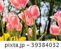 チューリップ 花 植物の写真 39384032