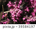 ジャノメエリカ ツツジ科 花の写真 39384197