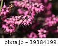 ジャノメエリカ ツツジ科 花の写真 39384199