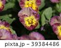 ビオラ スミレ科 スミレ属の写真 39384486