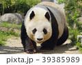 パンダ 動物 ジャイアントパンダの写真 39385989