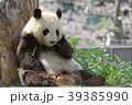 パンダ 動物 ジャイアントパンダの写真 39385990