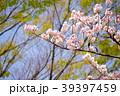 桜 39397459