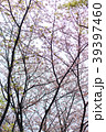 葉桜 桜 東京 39397460