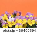 ビオラ 花 咲くの写真 39400694