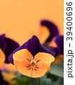 ビオラ 花 咲くの写真 39400696