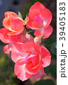 ジャルダン・ドゥ・フランス(四季咲き) 39405183