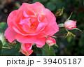 ジャルダン・ドゥ・フランス(四季咲き) 39405187