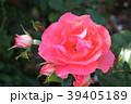 ジャルダン・ドゥ・フランス(四季咲き) 39405189