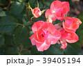 ジャルダン・ドゥ・フランス(四季咲き) 39405194