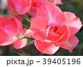 ジャルダン・ドゥ・フランス(四季咲き) 39405196