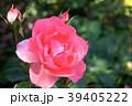 ジャルダン・ドゥ・フランス(四季咲き) 39405222
