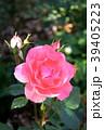 ジャルダン・ドゥ・フランス(四季咲き) 39405223