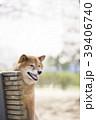 公園のベンチに座る柴犬のポートレート 39406740