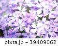 シバザクラ 花 植物の写真 39409062