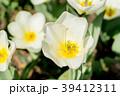 チューリップ 花 チューリップ属の写真 39412311