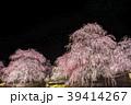 しだれ梅のライトアップ 39414267