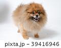 ポメラニアン 小型犬 犬の写真 39416946