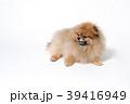 ポメラニアン 小型犬 犬の写真 39416949
