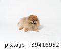 ポメラニアン 小型犬 犬の写真 39416952