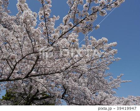 さくら ソメイヨシノ(多摩センター、宝野公園) 39419947