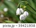 スノーフレーク(鈴蘭水仙) 39421938