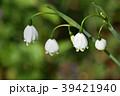 スノーフレーク(鈴蘭水仙) 39421940